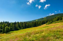 Wide meadow among the spruce forest. Lovely summer landscape in mountains royalty free stock image
