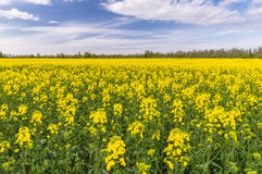 Wide oilseed rape field under cloudscape. Natural countryside background Royalty Free Stock Photography