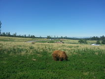 Wide Open Field With Bears Royalty Free Stock Photo