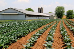 Wide open fields with vegetables beginning to grow Stock Photography