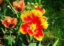 Wide open tulip Stock Image