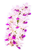 Wide orchid flower Stock Photography