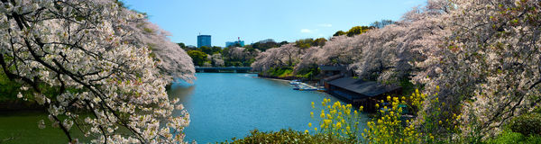 Wide panorama of Chidorigafuchi Moat and cherry flower blossoms in Tokyo, Japan. Very wide panoramic view of the Chidorigafuchi Moat in Tokyo, Japan during Royalty Free Stock Photo