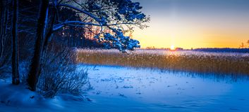 A wide panorama of a cold snow field with reeds Royalty Free Stock Photo