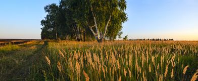 Wide panorama of country summer landscape with ground countryside road,lonely growing birch trees and spikelets of grasses illumin royalty free stock photography