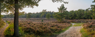 Wide panorama of Dutch heathland with low sun Royalty Free Stock Photo