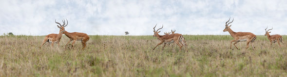 Wide panorama of thompsons gazelles. Running in Africa Royalty Free Stock Image