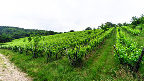 Wide panoramic view to Alsacevineyards, France Stock Photography