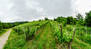 Wide panoramic view to Alsacevineyards, France Royalty Free Stock Photo