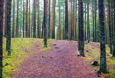 Wide path in pine forest Stock Image