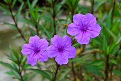 Wide petunia Stock Photography