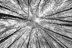 Wide photo of forest trees shot straight up. Monochrome photo of a grunge forest with trees and branches seen from below upwards during winter Stock Images