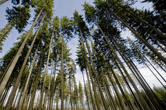 Wide pine trees. Few pine trees, wide angle from below Royalty Free Stock Photo