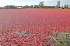 Wide on Raw Cranberries. Wide on a thick layer of cranberries after it had risen to the surface of a flooded field and will soon be harvested for processing royalty free stock photo