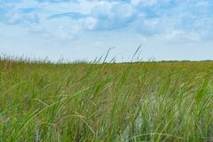 Wide reed covered flat wetlands of Florida everglades. As environmental background with blurred reeds blowing in breeze stock photography
