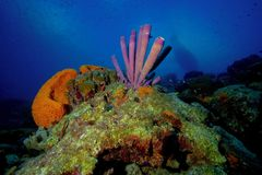Wide Reef. Reef shot of orange ear sponge and tube coral Royalty Free Stock Images