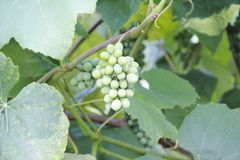 Wide on Ripening Grapes Stock Photos