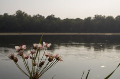 Wide river flowing across green forest. Fall. Evening. Reflections of trees in the calm water. Sundown. Flowering rush blooming Royalty Free Stock Photo