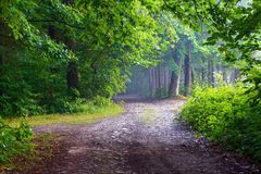 The wide road among giant trees leads to the fairy forest in haze. Royalty Free Stock Photography