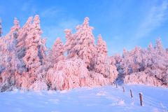 A wide road leads into the forest with trees covered with snow, illuminated by a gentle morning pink light. The wooden fence. Stock Photo