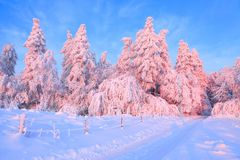 A wide road leads into the forest with trees covered with snow, illuminated by a gentle morning pink light. The wooden fence. Stock Images