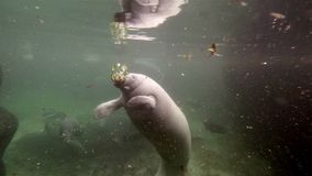 Wide shoot of manatee eating water hyacinth stock video