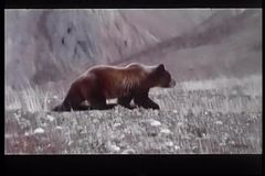 Wide shot of bear walking across mountain terrain stock video footage