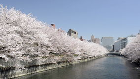Wide shot of cherry blossom in Japan stock footage