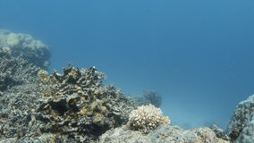 Coral reefs underwater. A wide shot of coral reefs underwater. Shot pans to the right to show other coral reefs stock footage