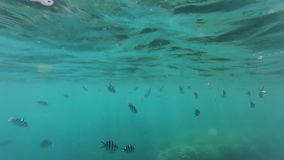Zebra fish underwater and coral reef. A wide shot of fish underwater and water`s surface with coral reef stock video footage