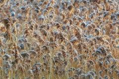 Golden Reeds Wide stock image