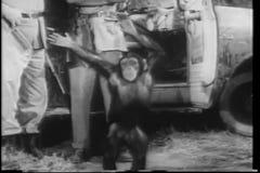 Wide shot happy monkey dancing  by safari truck stock video footage