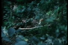 Wide shot of ninjas leaping through the forest stock video footage