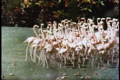 Wide shot of pink flamingos stock video footage