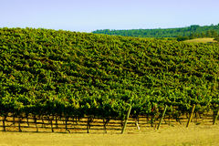 Wide Shot of a  Wine Yineyard with green Royalty Free Stock Image