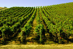 Wide Shot of Wine Yinyard Royalty Free Stock Photography