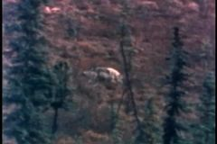 Wide shot of wolf in the wild stock footage