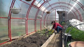 Gardener Working in a Greenhouse. Wide shot of Young Woman Working in a Organic Vegetable Garden in Spring. She is Planting Tomatoes in the Greenhouse. Slow stock footage