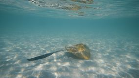 Swimming with a stingray under the blue sea. A wide slow motion shot of a stingray swimming freely under the blue sea. The stingray was swimming almost at the stock footage