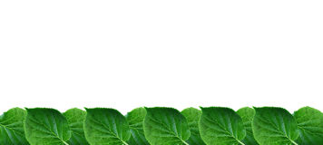 Wide spring border with green leaves lush foliage arrangement on white Stock Images