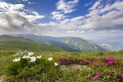 Wide summer mountain panorama. Beautiful white and red flowers stock images