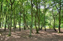A wide sunlit footpath passes between oak and silver birch trees in Sherwood Forest Stock Image
