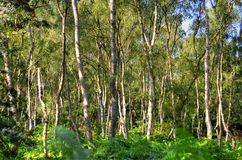 A wide sunlit footpath passes between oak and silver birch trees in Sherwood Forest stock photos