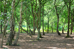 A wide sunlit footpath passes between oak and silver birch trees in Sherwood Forest royalty free stock images