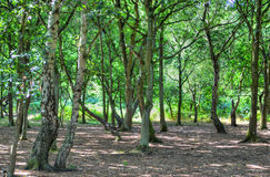 A wide sunlit footpath passes between oak and silver birch trees in Sherwood Forest royalty free stock photos