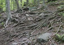 Tree Roots Covering a Catskill Mountain Trail. A wide swath of roots covering the entire hiking trail in the eastern Catskill Mountains of New York stock photography