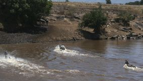 Wide tracking shot of zebra crossing the mara river in masai mara game reserve