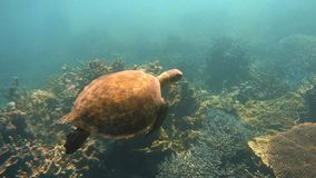 A wide tracking underwater shot of a sea turtle. A tacking shot of a sea turtle underwater n slow motion stock video