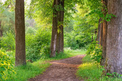 Wide trail of tall trees. In the summer Royalty Free Stock Image