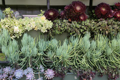 Wide Variety Of Succulents On A Garden Wall Royalty Free Stock Photo
